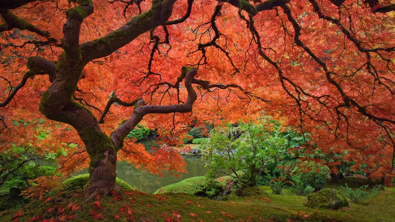 Japanese maple tree | The Friday Influence