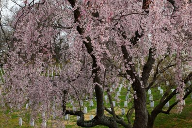 Weeping-cherry-tree-arlington-cemetery-dc_-_Virginia_-_ForestWander.jpg
