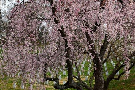 Weeping-cherry-tree-arlington-cemetery-dc_-_Virginia_-_ForestWander.jpg