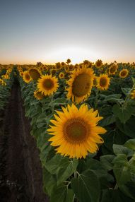 Sunflowers,_Merritt,_California,_27_June_2013