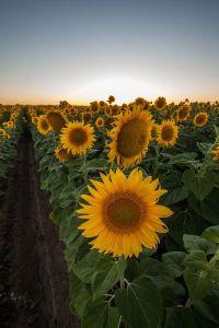 Sunflowers,_Merritt,_California,_27_June_2013