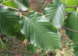 cherry birch