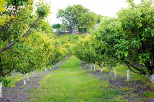 apricot-orchard-261479_960_720